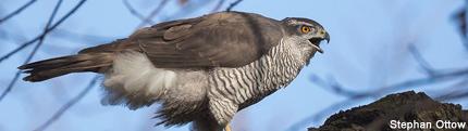 Illegale Verfolgung bedroht den Greifvogel | NRW federführend bei Bekämpfung der Greifvogelverfolgung