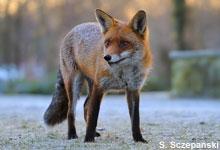 Fuchs im Dezember