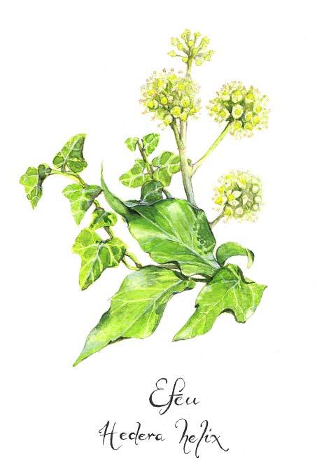 Efeu mit Blüten - Illustration: Stefanie Gendera